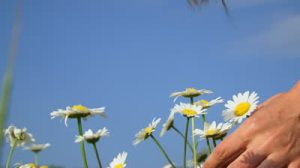 PICKING DAISIES 2